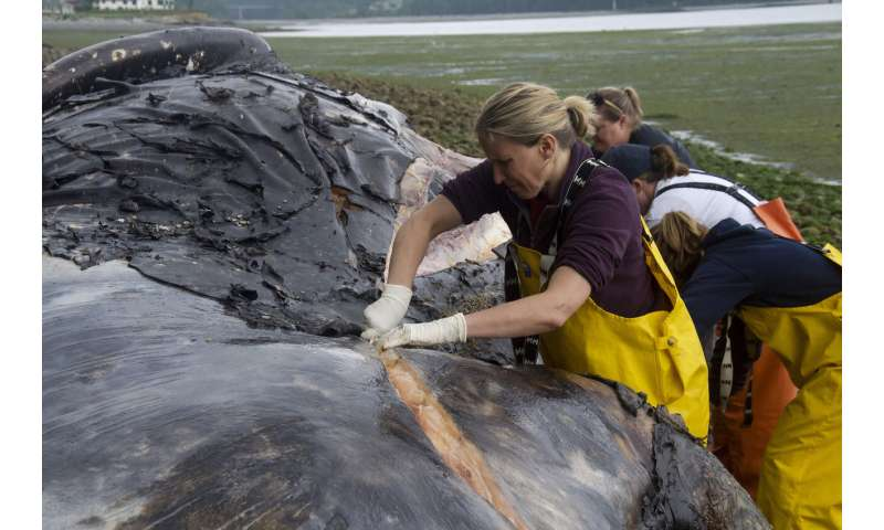 Rot in peace: Sites lacking for whale corpses amid die-off