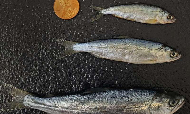 Salmon lose diversity in managed rivers, reducing resilience to environmental change