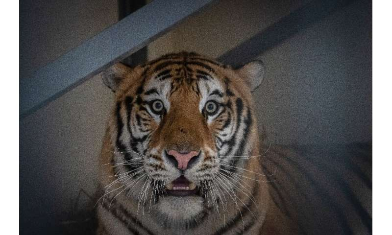 Samson, a male tiger, narrowly survived a gruelling journey across Europe