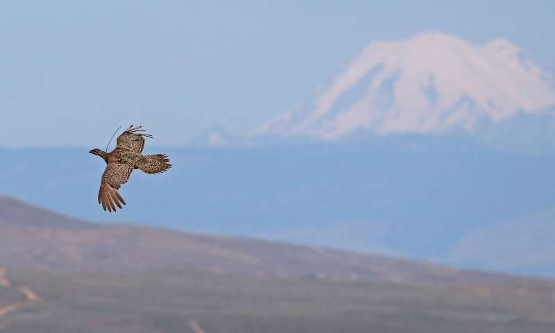 Saving sage-grouse by relocation
