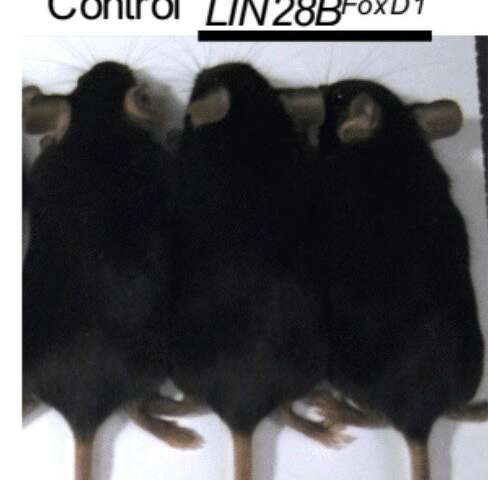 Scientists accidentally engineer mice with unusually short and long tails