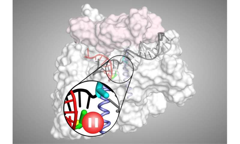 Scientists provide new insight on how gene expression is controlled