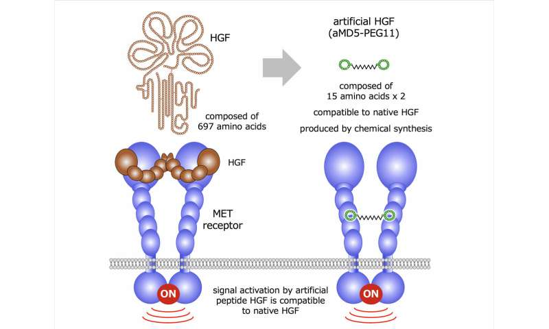 Scientists successfully obtain synthetic growth factor compatible to the native protein