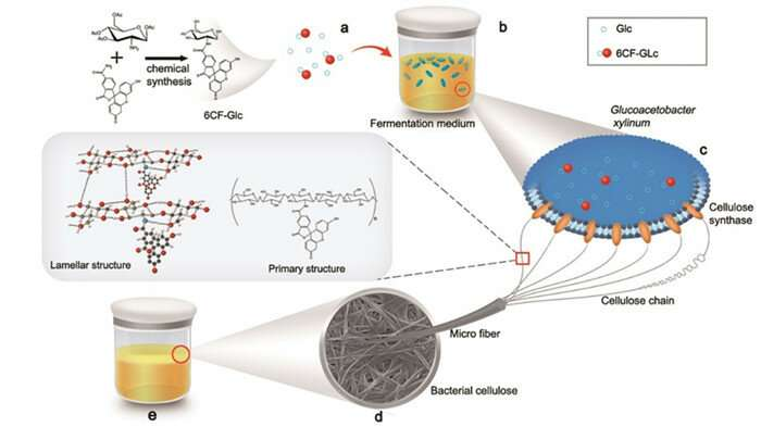 Scientists use microorganism to fabricate functional bacterial cellulose in situ