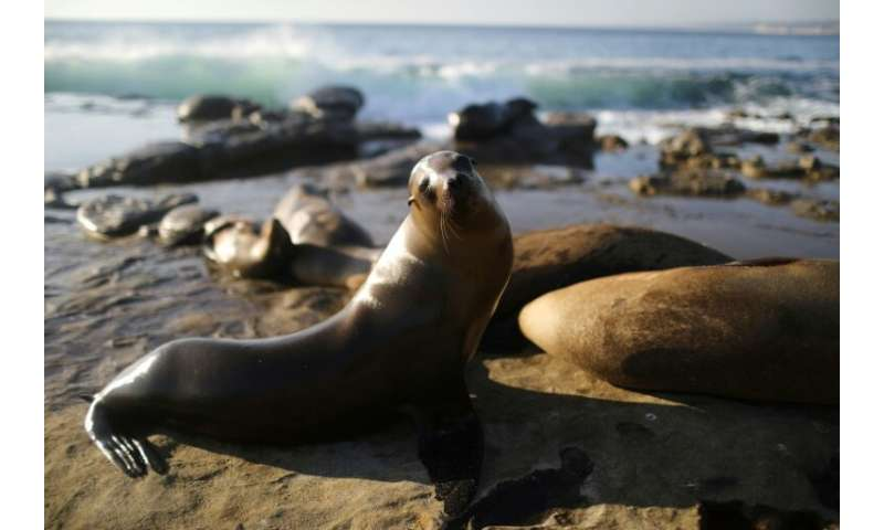 Sea lions bathe in the sun in California