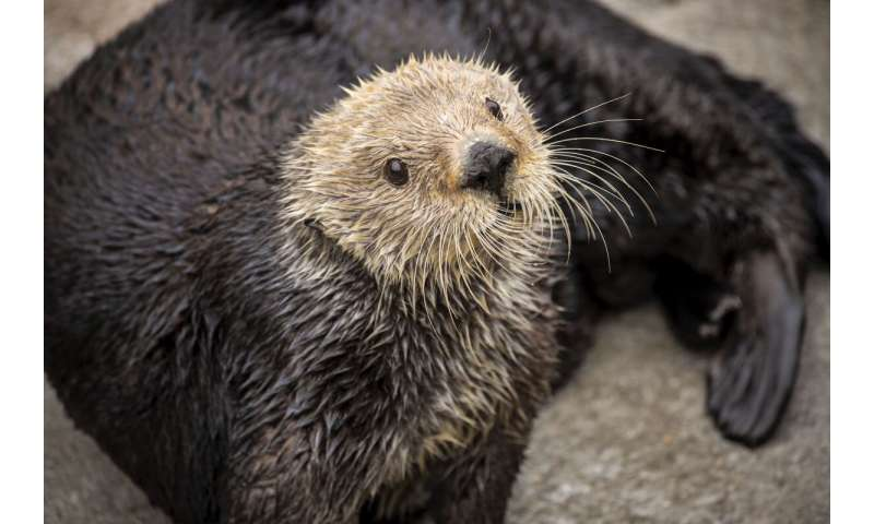 Sea otters have low genetic diversity like other threatened species, biologists report