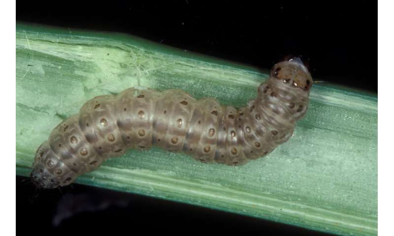 Secrets to climate change adaptation uncovered in the European corn borer moth