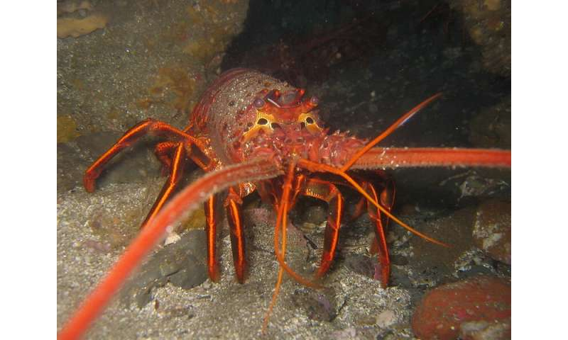 Seismic air guns found to harm balance organ in rock lobsters
