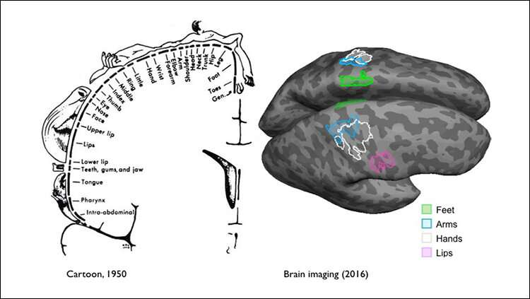 Sensory and motor brain plasticity is not limited by location