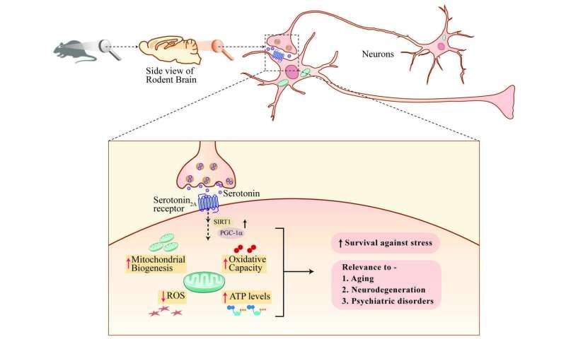 Serotonin boosts neuronal powerplants protecting against stress