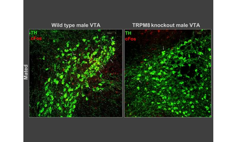 Sex and aggression in mice controlled by cold-sensor in brain