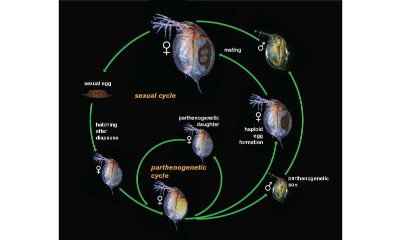 Sex, lies and crustaceans: New study highlights peculiar reproductive strategies of Daphnia