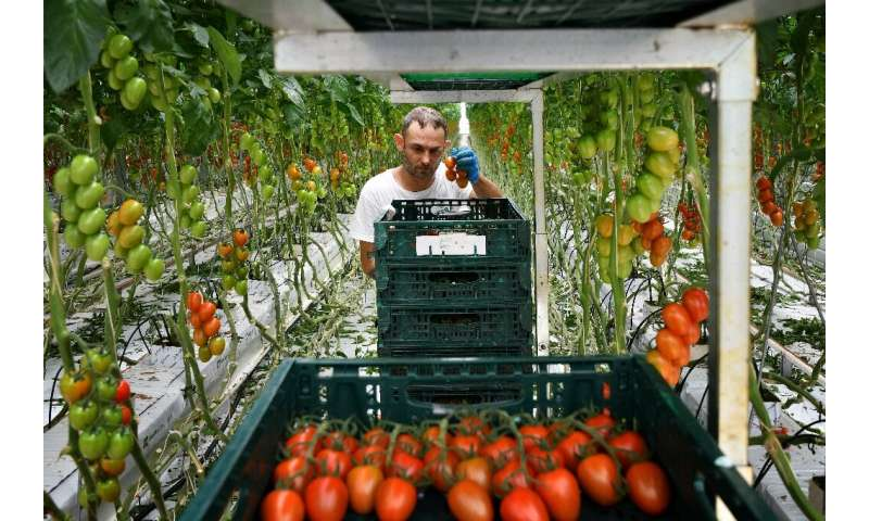 Sfera Agricola is betting on a return to the Italian tomato's glory days