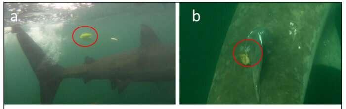 Shark salvation found in crossing conformation