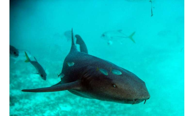 Sharks have stalked the oceans for more than 400 million years