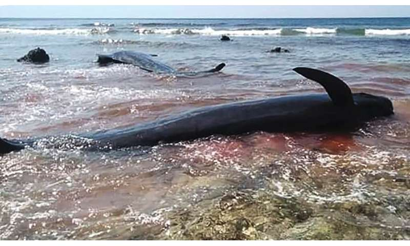 Six of the dead stranded whales were buried in a traditional ceremony but one was chopped apart by some of the villagers for its