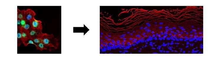 Skin graft: a new molecular target for activating stem cells