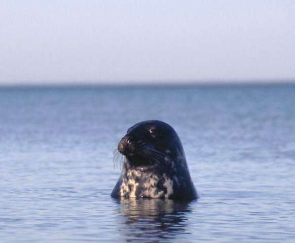 Skinny cod and grey seal reveals troubling changes to food web in the Baltic Sea