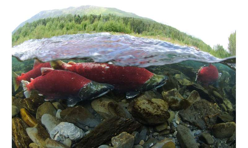 Slime proves valuable in developing method for counting salmon in Alaska