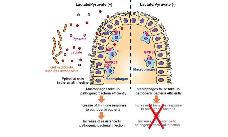 Small metabolites have big effects on the intestinal immune response