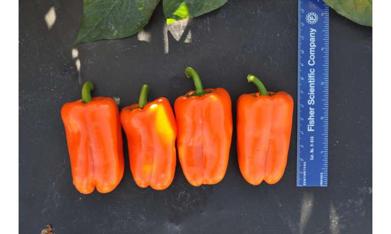 Snack peppers find acceptance with reduced seed count