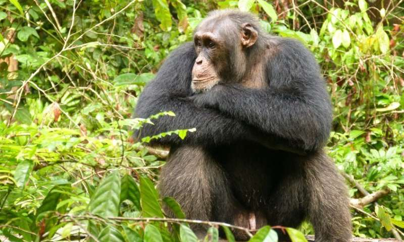 Social insecurity also stresses chimpanzees
