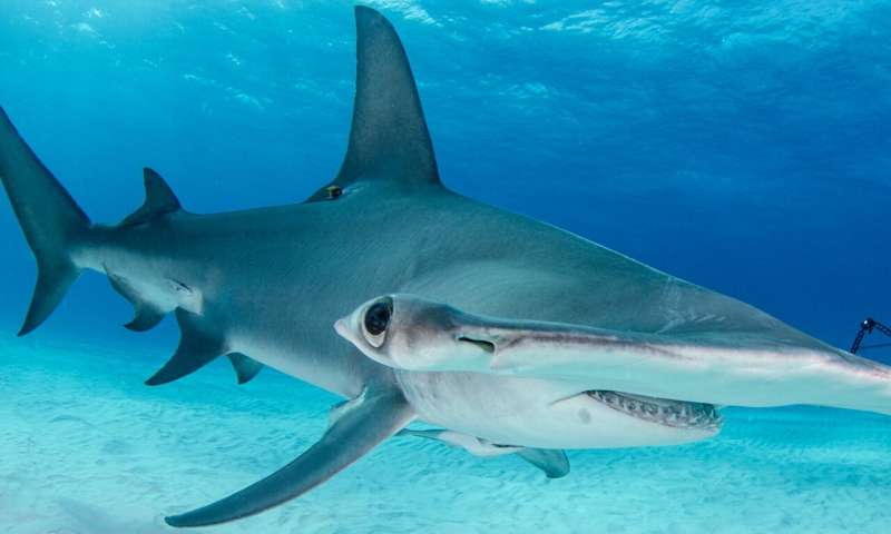 **Softening the blow for hammerhead sharks and tropical hardwoods