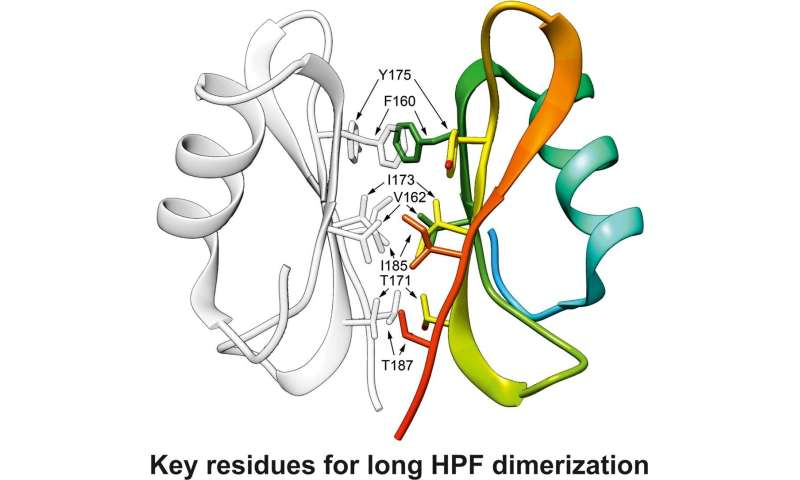 Solution of the high-resolution crystal structure of stress proteins from Staphylococcus to advance antibiotics research