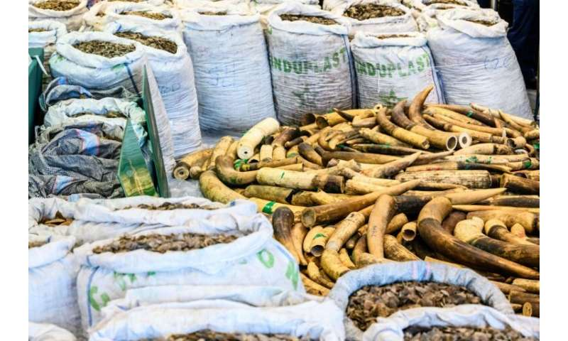 Some 2,100 kilos of ivory tusks were also found hidden inside a container at a customs facility