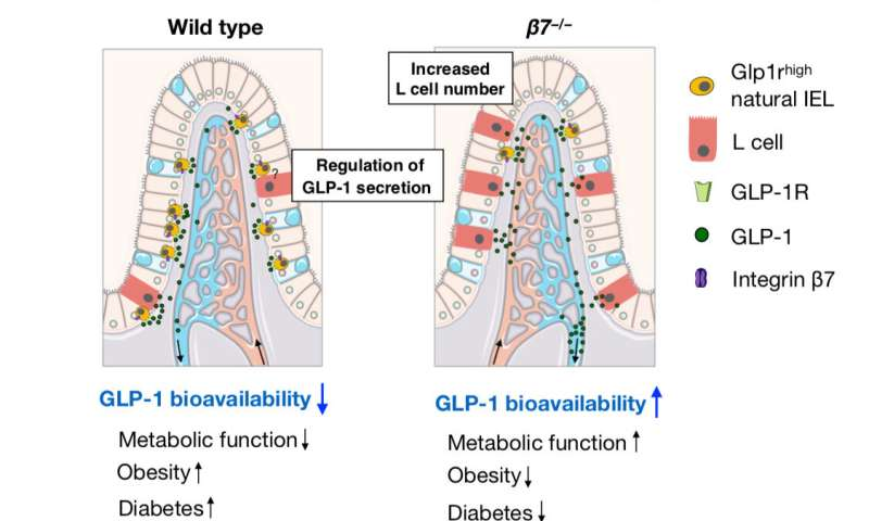 Some gut cells slow down metabolism, accelerate cardiovascular disease