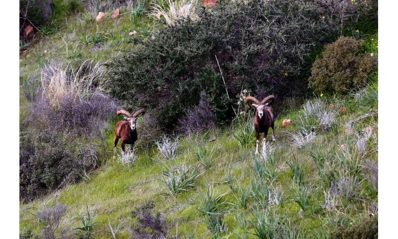 Some villagers are said to have been forced off their land by the protected mouflon