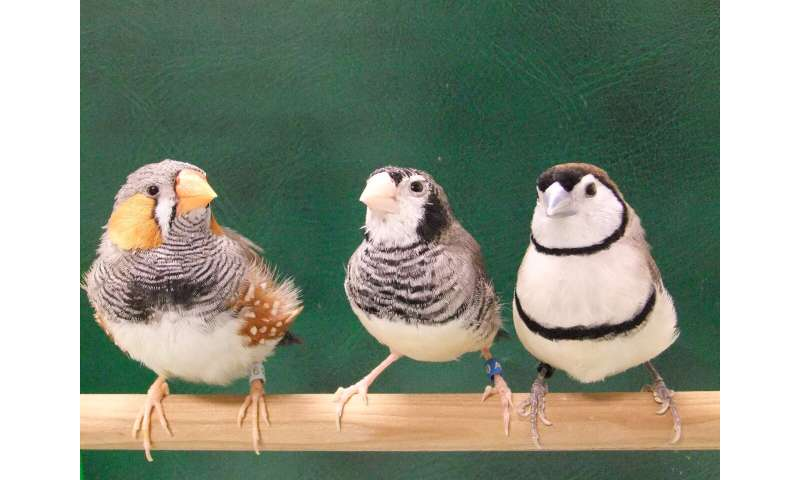 Songbirds sing species-specific songs