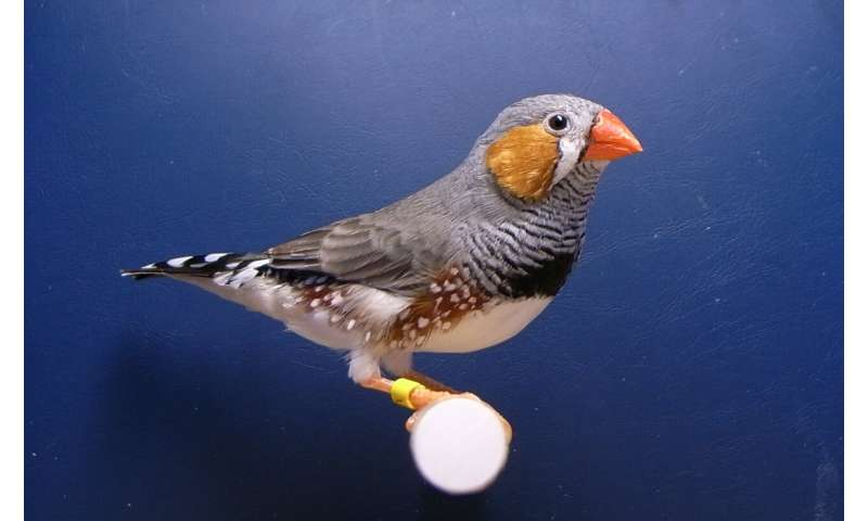 Song-learning neurons identified in songbirds