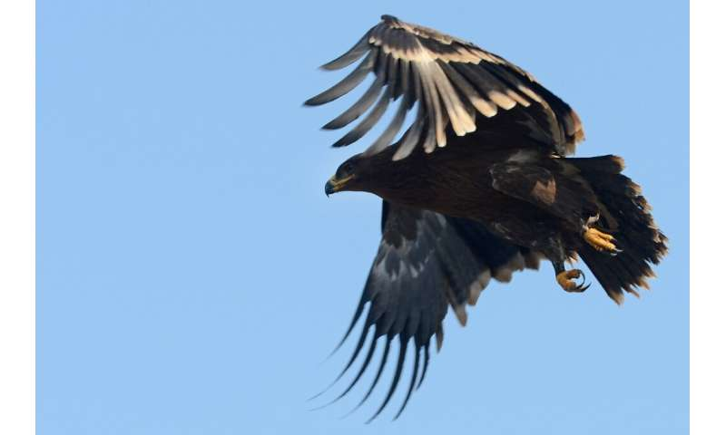 Steppe eagles face rapid decline due to the spread of farming land across their territory and are vulnerable to wind turbines