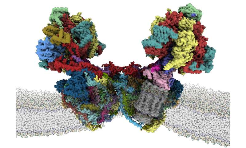 Structure of a mitochondrial ATP synthase