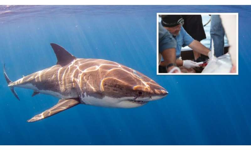 Study finds white sharks with high levels of mercury, arsenic and lead in their blood