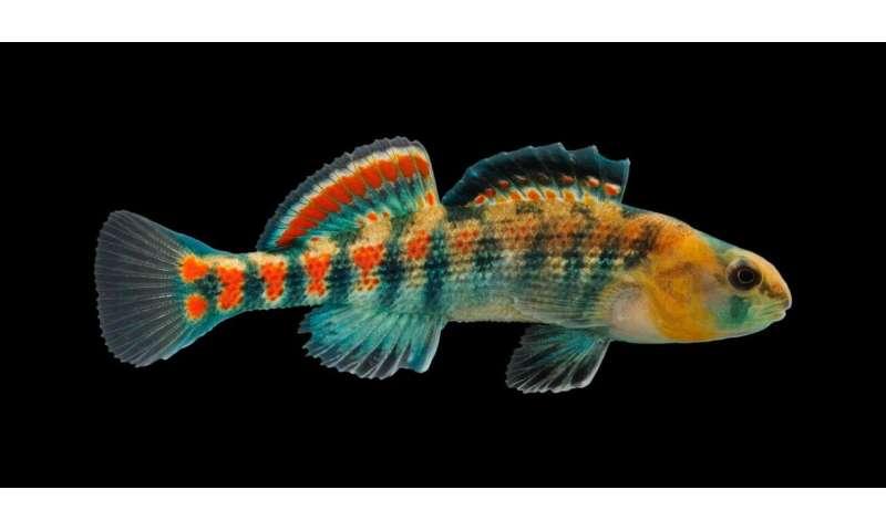 Study tracks genomic changes that reinforce darter speciation