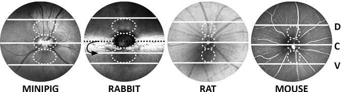 Suitable marker for retina morphology across species