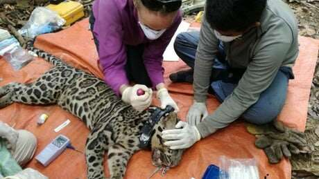 Sunda clouded leopard under threat from habitat fragmentation