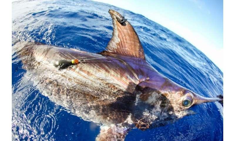 Swordfish as oceanographers?  Satellite tags allow research of ocean's 'twilight zone' off Florida