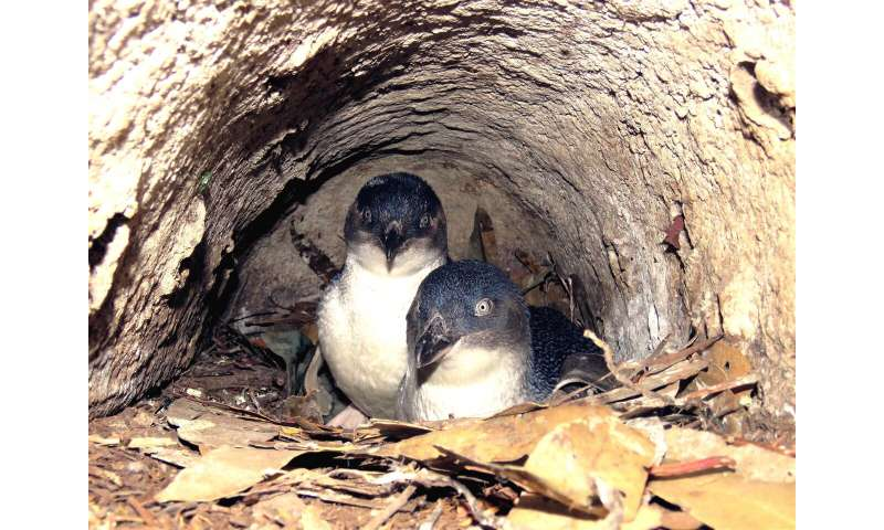 Tasmanian little penguin study casts light on foraging behaviour