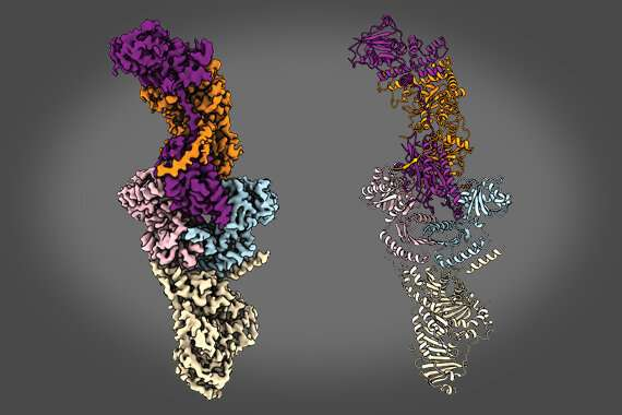 Team solves structure of key mTORC1 activator