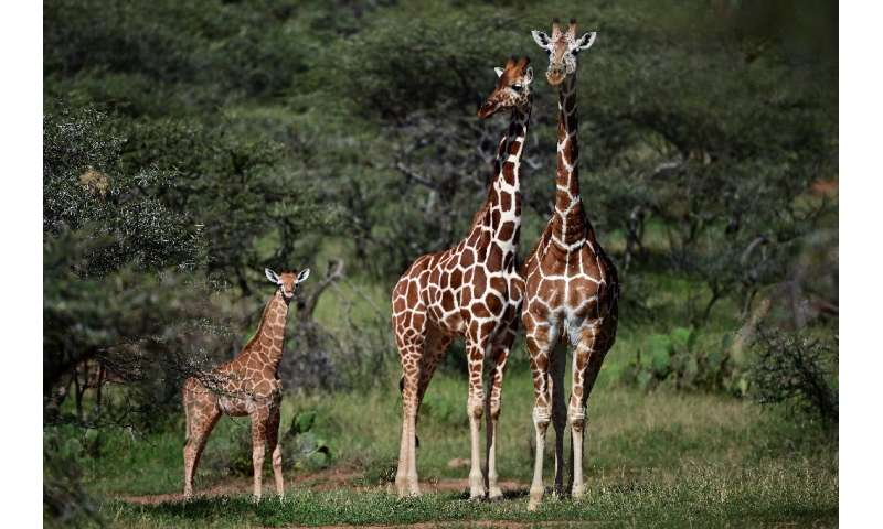 The African giraffe population as a whole has shrunk by an estimated 40 percent over the past three decades, to just under 100,0