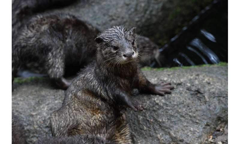 The Asian small-clawed otter will soon be banned from international trade