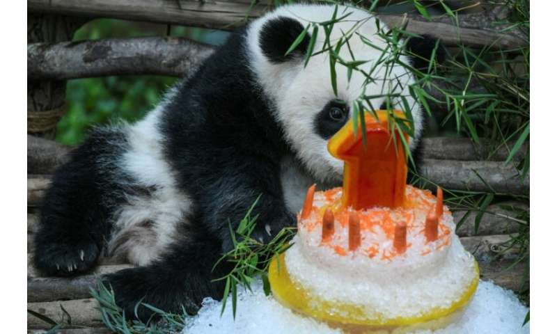The as yet unnamed panda nibbled on some carrots, tired of the celebrations and fell asleep