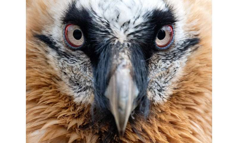 The bearded vulture, which can attain a three-metre wingspan, almost disappeared in Europe at the start of the 20th Century