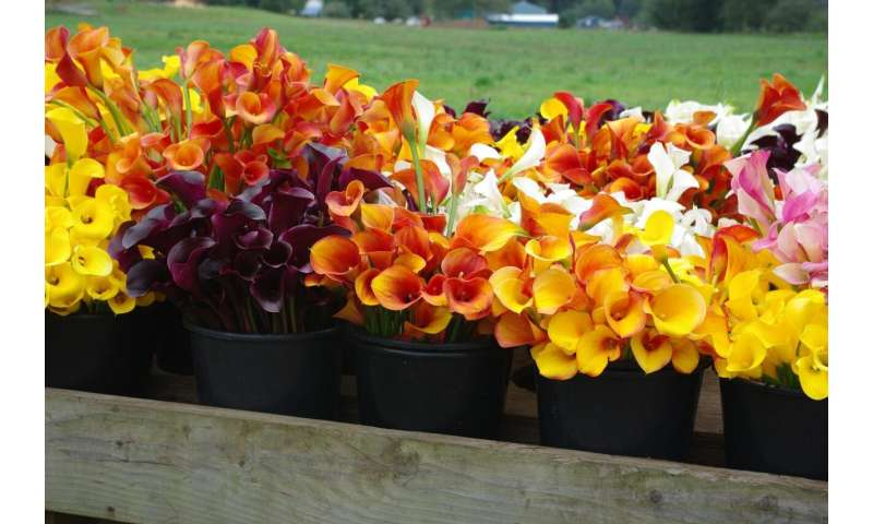 The challenges of North American specialty cut flowers