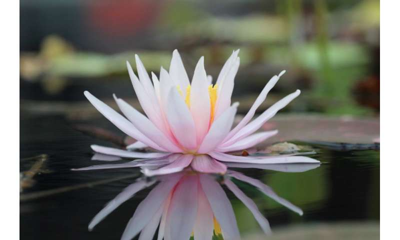 The delicate water lily: A rose by another name?