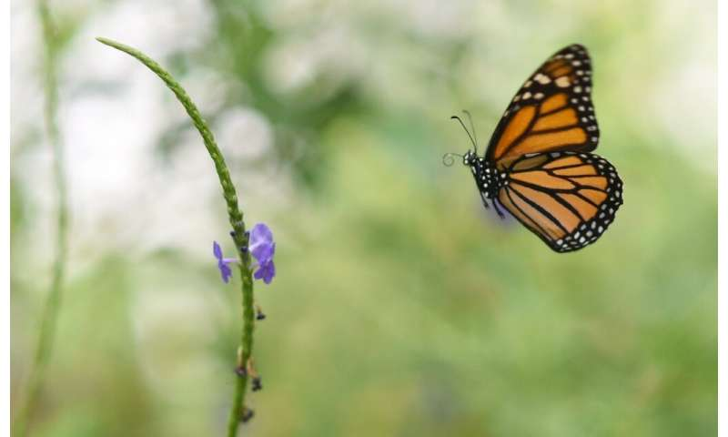 The EPA says herbicide glyphosate could pose risks to pollinators such as monarch butterflies, but is not carcinogenic
