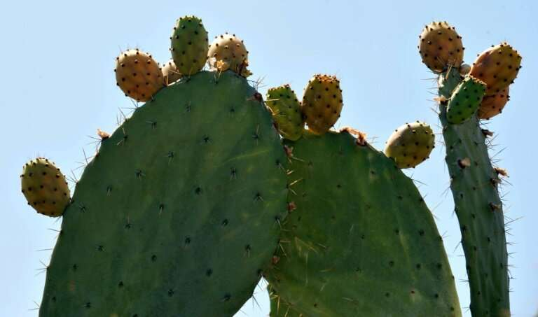 """The FAO says that beyond its immense benefits, the """"humble cactus"""" can help fight food insecurity, improve soil qualit"""